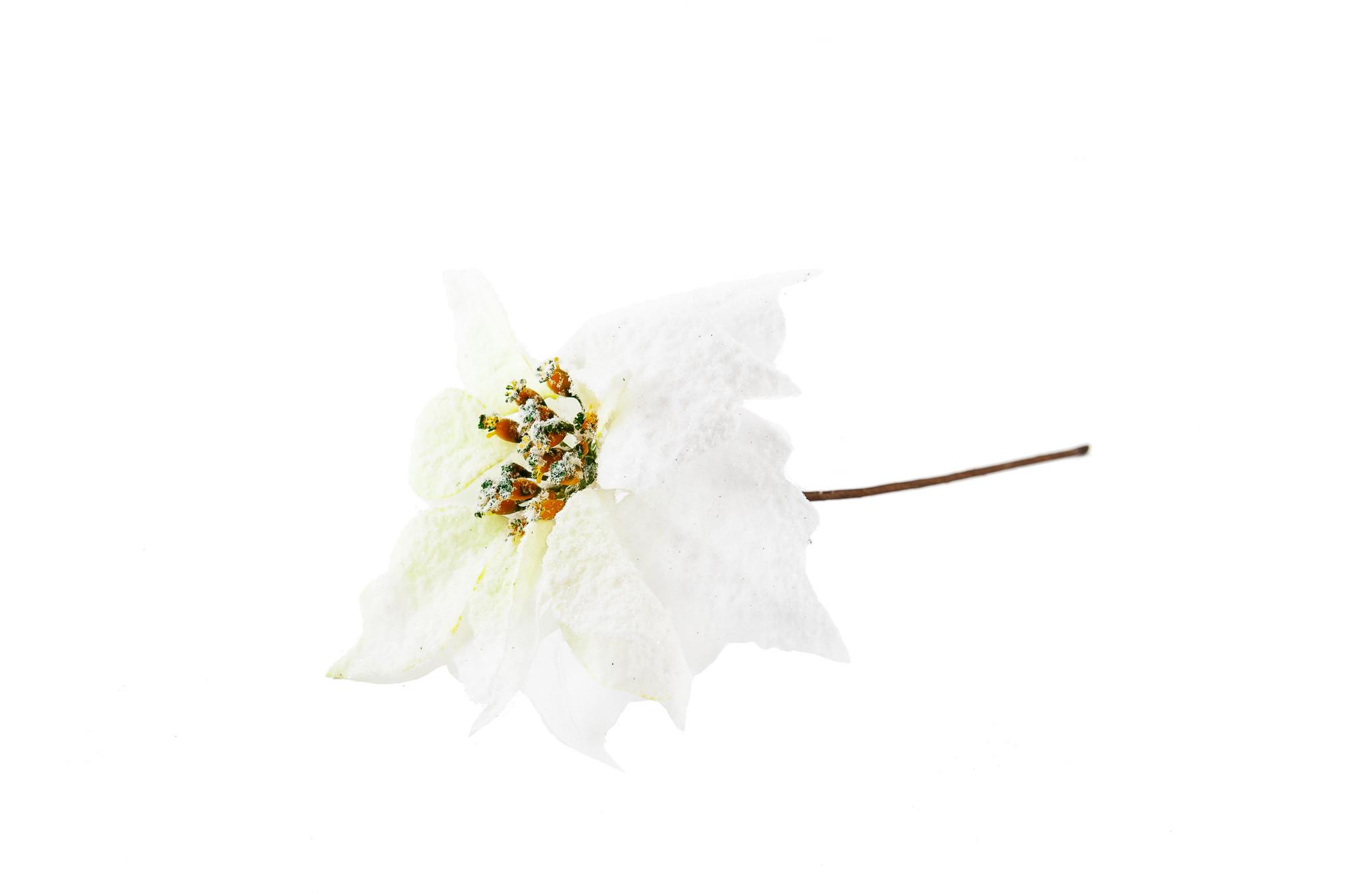 Květ Euphorbia - Vánoční hvězda